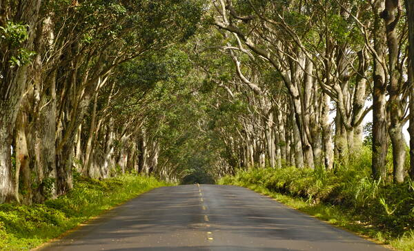 Tree Tunnel in Koloa, Kauai Island, Hawaii