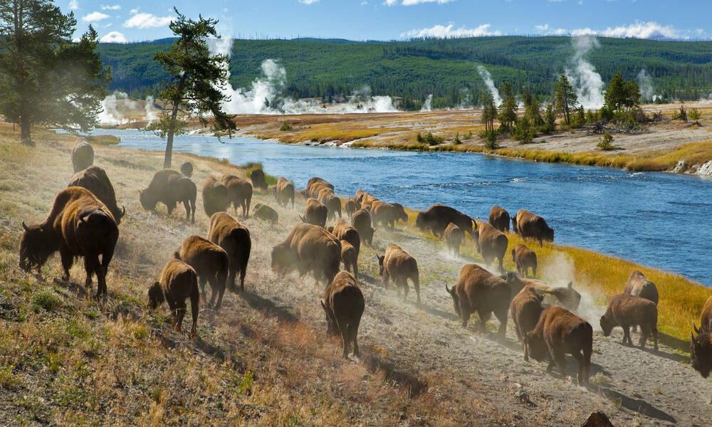 bizons in Yellowstone