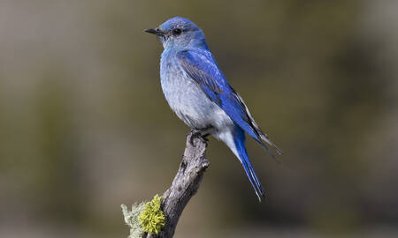 Mountain Bleubird