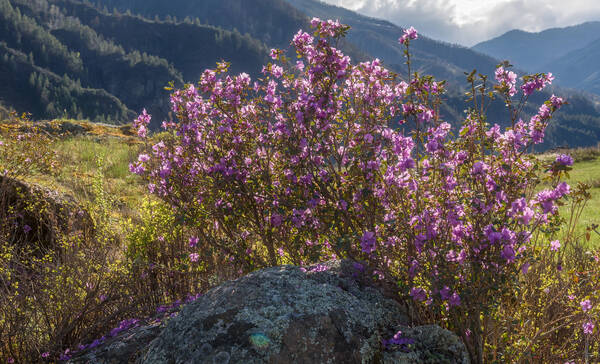 Rhododendron Flats, veel rhodondendrons in Manning Park