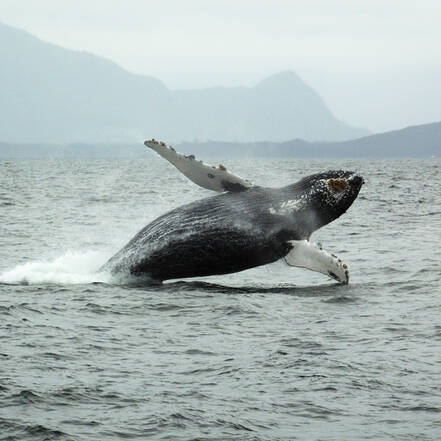 Vancouver Island Whale Watch Tofino