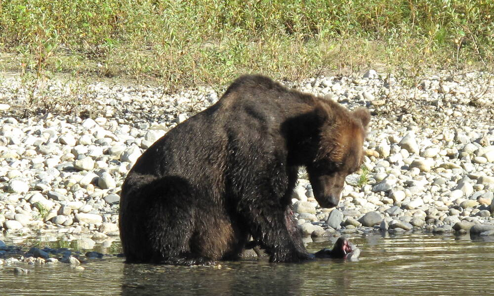 Grizzly Expedition Campbell River