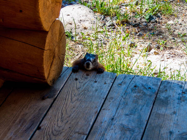 Marmot bij Togwottee Lodge, Grand Teton